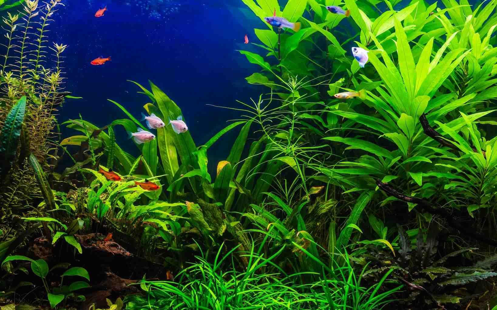 Quels poissons peuvent survivre dans un aquarium sans pompe?