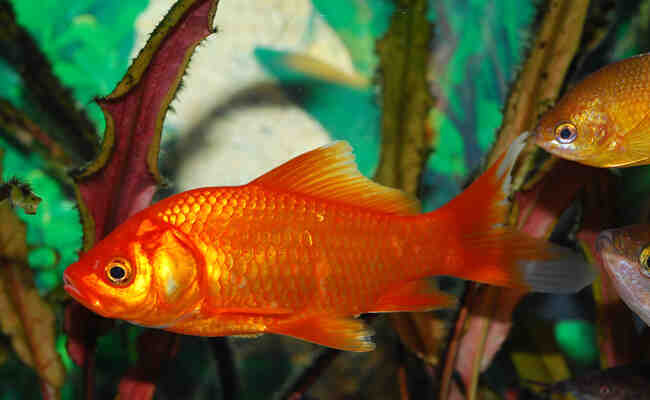 Un poisson rouge s'ennuie-t-il tout seul?